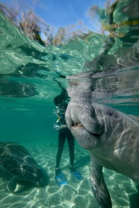 Snorkelling with Manatee