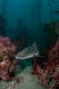 Leopard Shark Monterey