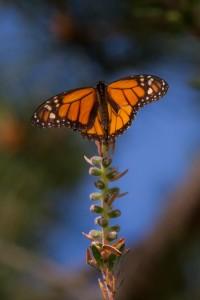Monarch Butterfly Monterey