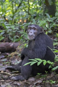 chimps-no signature-19