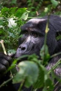 uganda-gorillas-no-sig