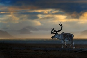 Reindeer-Svalbard-Catherine-Capon