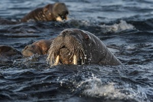 Walruses Herd Swim In Ocean | Arctic Wildlife Photographer